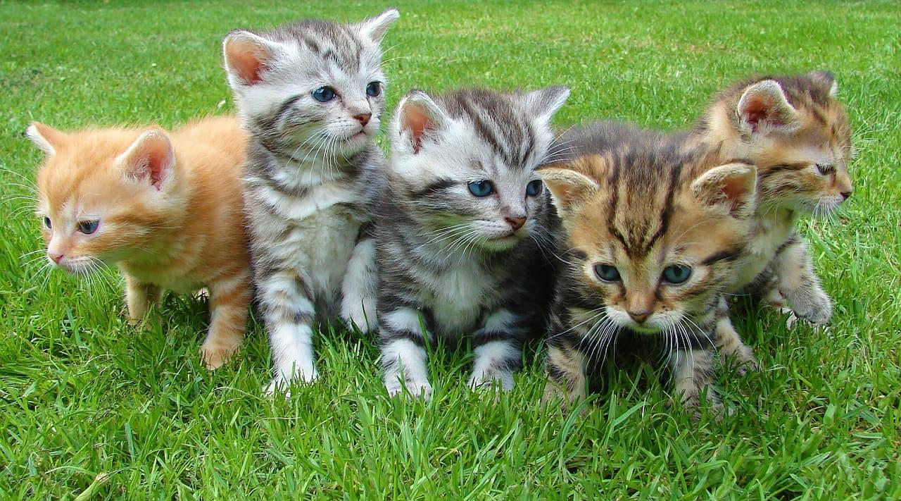 How Many Cats Per Litter